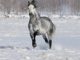 Grey Andalusian Stallion Trotting in Snow  Longmont  Colorado  USA