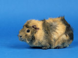 Three Red Abyssinian Guinea Pigs