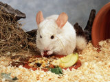 White Long-Tailed Chinchilla