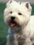 West Highland Terrier / Westie Panting