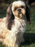 Shih Tzu with Facial Hair Cut Short