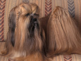 Lhasa Apso with Plaited Hair Looking Back