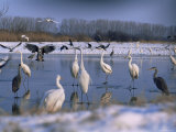 Great Egrets  and Grey Herons  on Frozen Lake  Pusztaszer  Hungary