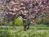 Cherry Tree  in Blossom  Regents Park  London  UK