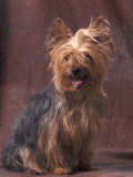 Yorkshire Terrier Studio Portrait