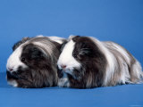 Two Sheltie Guinea Pigs