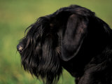 Black Standard Schnauzer Profile