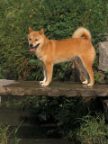 Shiba Inu Standing on a Bridge