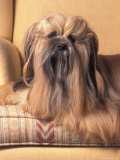 Lhasa Apso Sitting on Couch with Hair Plaited