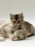 Domestic Cat  Silver Tortoiseshell-And-White Mother with Her 8-Week Tabby Kitten Playing