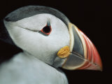 Puffin Portrait  Runde  Norway
