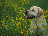 Labrador Retriever Sitting Among Flowers