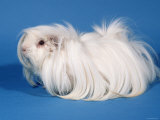 White Peruvian Guinea Pig