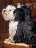 Domestic Dogs  West Highland Terrier / Westie Sitting on a Chair with a Black Scottish Terrier