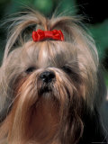Shih Tzu with Hair Tied Up