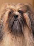 Lhasa Apso Portrait with Hair Tied Back Away from Face