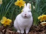 Domestic Albino Netherland Dwarf Rabbit  Amongst Daffodils  USA