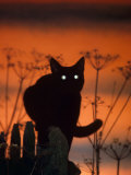 Black Domestic Cat  Silhoutte at Sunset with Eyes Reflecting Light