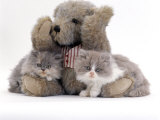 Domestic Cat  Two Blue Persian Kittens with a Brindle Teddy Bear