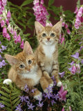 Domestic Cat  10-Week  Red Male and Ginger Female Spotted Tabbies Among Foxgloves and Bellflowers
