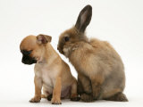 Chihuahua Puppy and Lionhead Rabbit