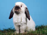 Lop-Eared Dwarf Rabbit