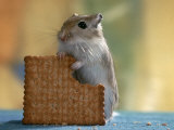 Gerbil Eating Biscuit