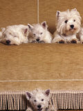 West Highland Terrier / Westie Family Sitting on Couch  One Peeping Our from Under the Couch