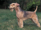 Black and Tan Lakeland Terrier Standing in Show Stack / Pose