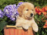 Golden Retriever Puppy in Bucket (Canis Familiaris) Illinois  USA