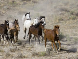 Herd of Wild Horses  Cantering Across Sagebrush-Steppe  Adobe Town  Wyoming  USA
