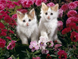 Domestic Cat  7-Week  White-And-Tortoiseshell Kittens  Among Pink Pansies and Chrysanthemums