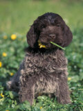 Korthal's Griffon / Wirehaired Pointing Griffon Puppy Eating Flower