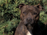 Staffordshire Bull Terrier Portrait