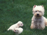 Domestic Dogs  West Highland Terrier / Westie with Two Young Puppies