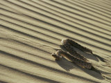 Sahara Horned Viper  Side Winding up Desert Sand Dune  Morocco