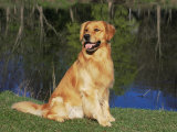 Domestic Dog Sitting Portrait  Golden Retriever  (Canis Familiaris) Illinois  USA