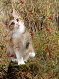 Domestic Cat  Tabby-Tortoiseshell Kitten Among Cocksfoot Grass  Horsetails and Rose Hips