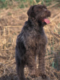 Korthal's Griffon / Wirehaired Pointing Griffon Portrait