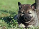 Norwegian Elkhound Puppy Lying in Grass
