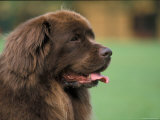 Brown Newfoundland Dog Portrait