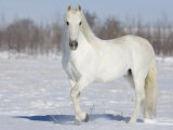 Grey Andalusian Stallion Portrait in Snow  Longmont  Colorado  USA