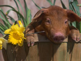 Domestic Piglet  in Bucket with Daffodils  USA