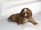 Very Young Cavalier King Charles Spaniel Puppy