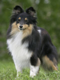 Sheltie Dog Outdoors