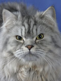 Head of Persian Cat