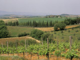 Vines and Vineyards on Rolling Countryside in the Heart of the Chianti District North of Siena