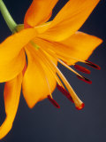 Close-Up of Orange Lilium Brunello Flower  Against a Blue Background