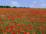 Field of Wild Poppies  Wiltshire  England  United Kingdom