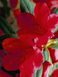 Close-Up of Two Red Rhododendron Flowers  Gros Claude  Windsor Great Park  Berkshire  England